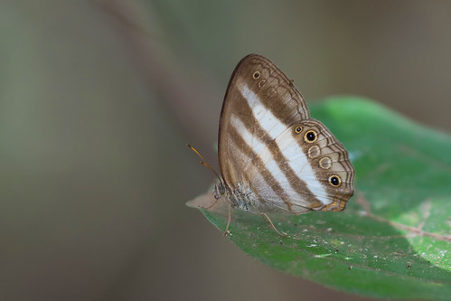 Two-banded Satyr (Pareuptychia ocirrhoe)