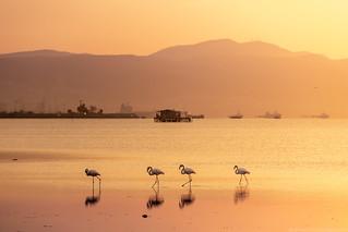 Flamingos at Sunrise in Thessaloniki, Greece