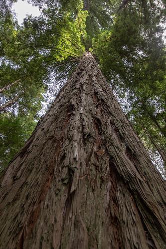 Sequoia Redwood Forest, Rotorua, New Zealand