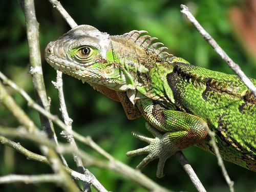 Iguana Verde, teyú, Green Iguana, Iguana Iguana