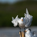 Charrán Real, Royal Tern (Thalasseus maximus)