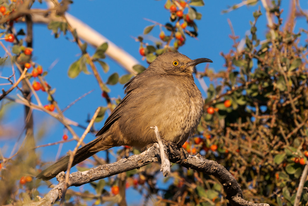 A curve-billed thrasher perches in a tree covered in berries early on a December morning along the Marcus Landslide Trail in McDowell Sonoran Preserve in Scottsdale, Arizona
