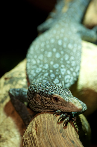 Varanus macraei - Blue-Spotted Tree Monitor