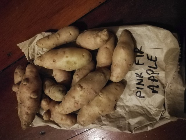 saved potatoes for next year