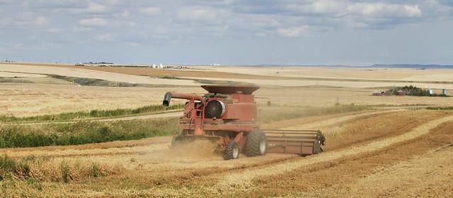 Field pea harvest, Starland County, near Drumheller, Alberta ..