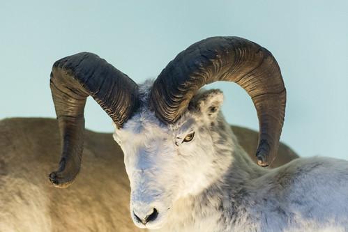 Dall Sheep - Natural History Museum London