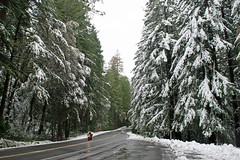 Snow in the redwoods