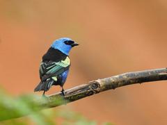 Fauna: Turquoise Dacnis (Dacnis hartlaubi) Permatree, Ecuador