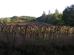 20080917 38512 1018 Jakobus Sonnenblumenfeld - Photo of Sainte-Alauzie