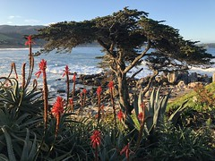 Aloe and Cypress Tree/North end of Carmel River Beach