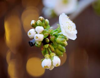 Cirerer florit