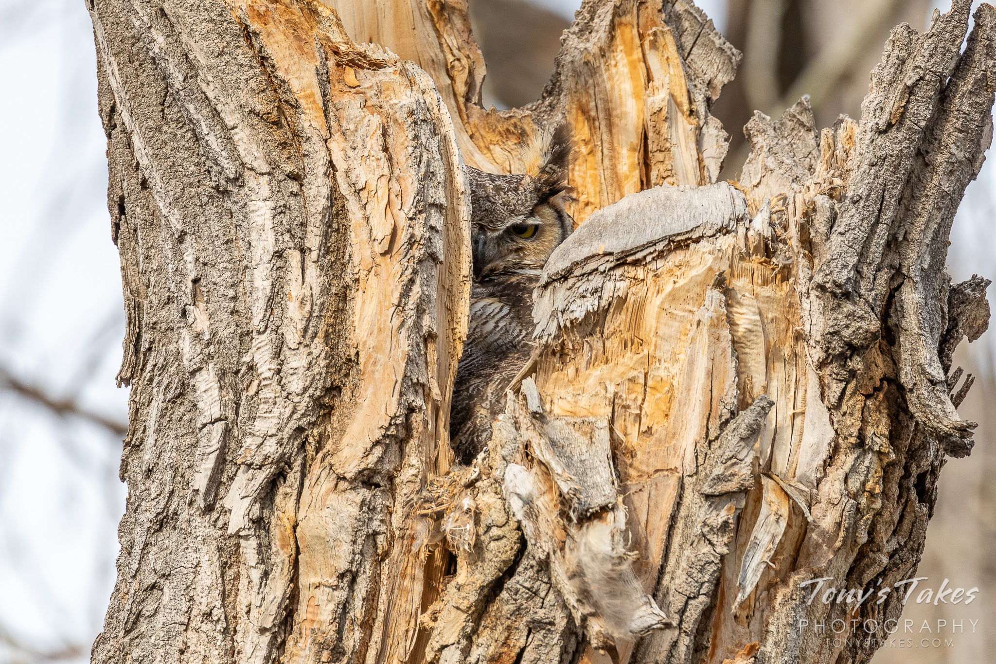 A female great horned owl peers out from her nest within a tree cavity in Thornton, Colorado. (© Tony's Takes)
