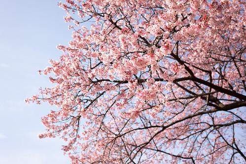 Kawazu cherry blossoms