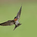 Pacific Swallow (Hirundo tahitica) 洋斑燕