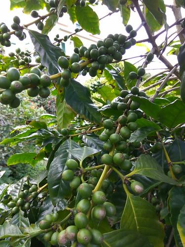café em crescimento