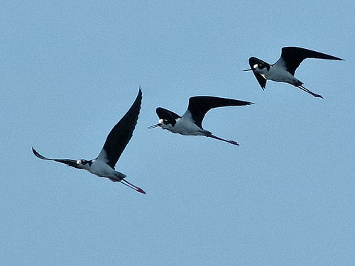 Black-necked Stilts 004-20190401