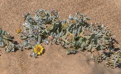 Desert vegetation - Kolmanskop