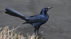 Icterids (Blackbirds, Grackles, Meadowlark, Orioles