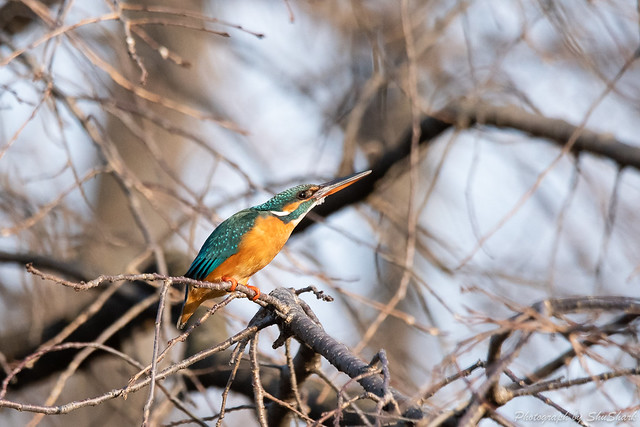 20190223-kingfisher-DSC_1625