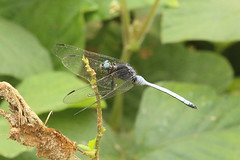 Dragonfly Nsuta Forest Reserve in Ghana