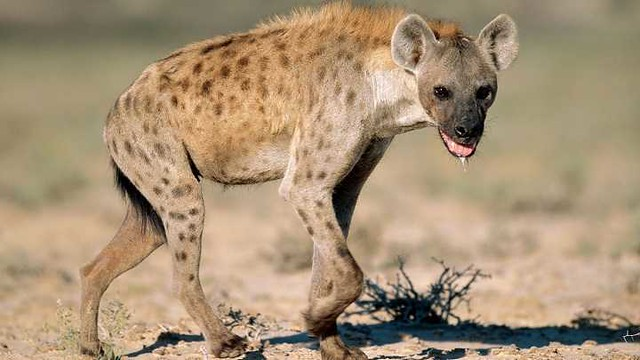 3301 A well-known restaurant shut down for selling Hyena meat in Obaidah, Saudi Arabia 01