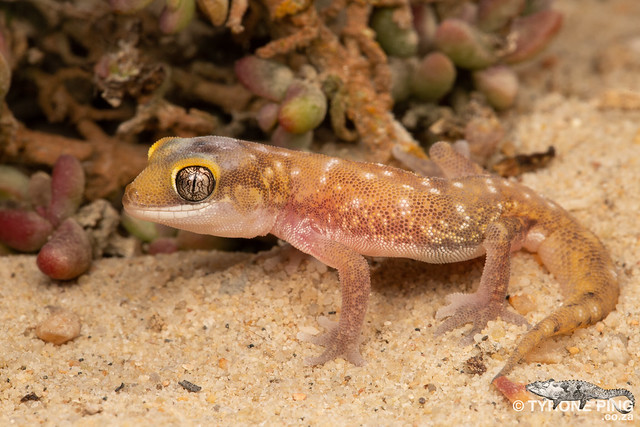 Pachydactylus austeni - Austen's Dune Gecko.