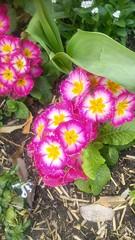 Petites prinevères roses