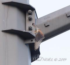 Faucon crécerelle Falco - tinnunculus - Common Kestrel : Michel NOËL © 2019-8475.jpg