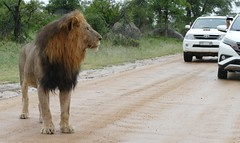 Lion (Panthera leo) on the road ...