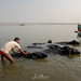 Buffalo in the Ganges