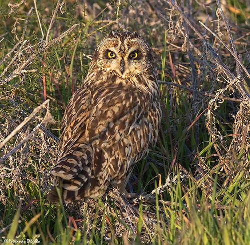 Coruja do Nabal (Asio flammeus) | Short-eared Owl | Sumpfohreule | Hibou des marais | Gufo di palude |  Búho Campestre