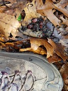 Fox scat with persimmon seeds