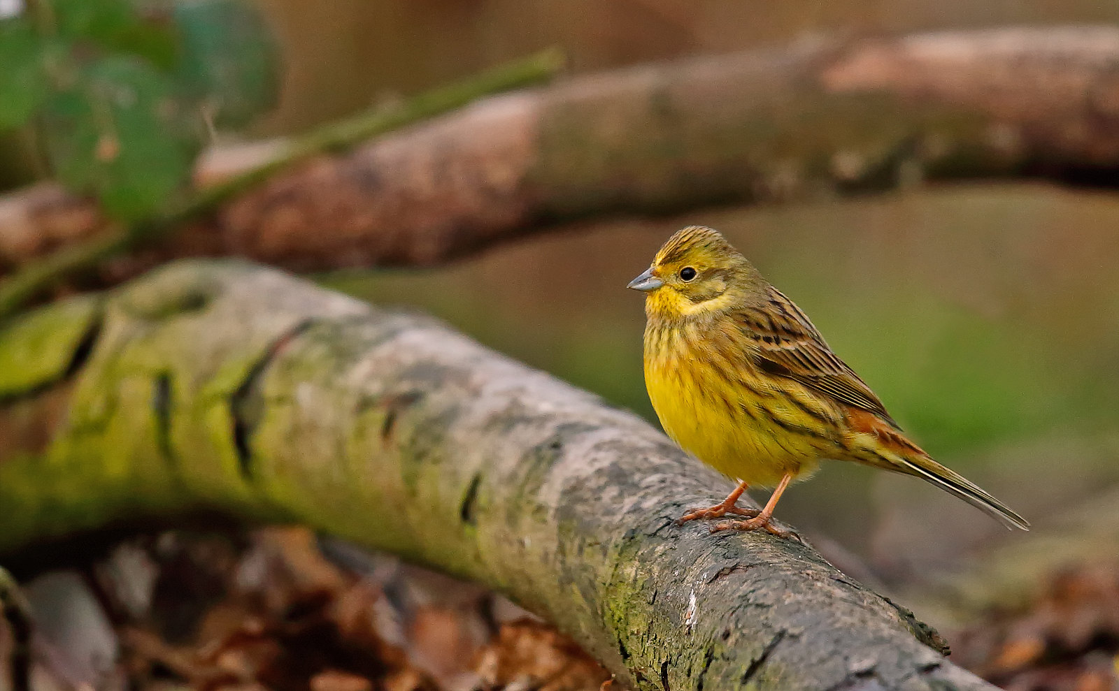 Yellowhammer - 1st winter male