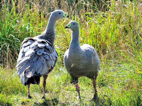 cape-barren-goose_16730827326_o