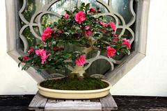 Bonsai in winter: Camellia ×hiemalis 'Shishigashira' (winter camellia), National Bonsai and Penjing Museum
