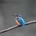 Kingfisher 1903171428.jpg