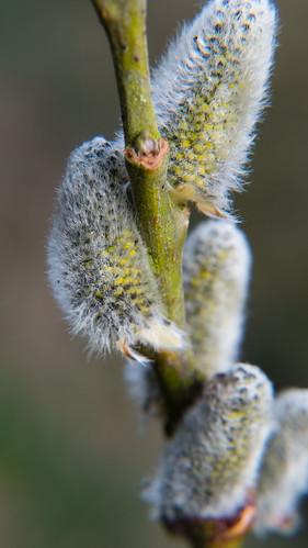 Willow catkins, first pollen