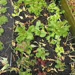 cos lettuce planting in Bigger vege bed by shiny