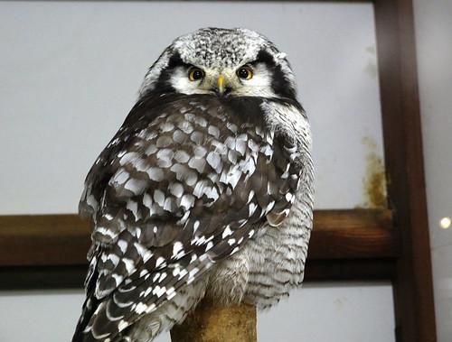 オナガフクロウ
