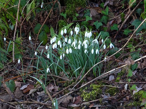 Riverside snowdrops | by Phil Gayton