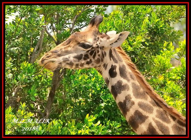 MASAI GIRAFFE Giraffa camelopardalis, Nikon D3X, AF-S VR Zoom-Nikkor 200-400mm f/4G IF-ED II