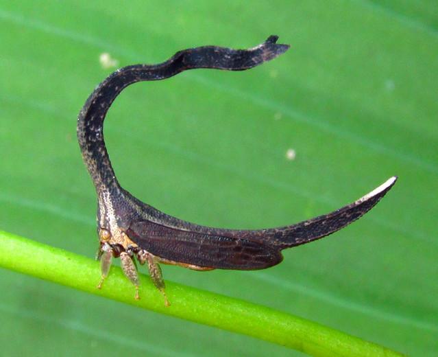 Sphongophorus ballista (Membracidae) treehopper, Canon POWERSHOT SX160 IS