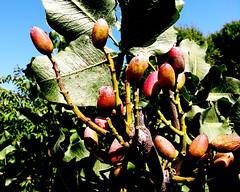 pistachios - Photo of Aurons