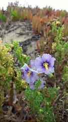 Solanum trinominum