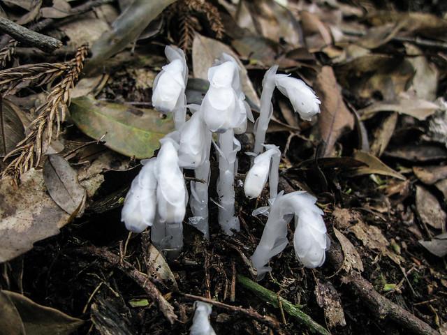 水晶蘭 1