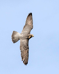 Peregrine Falcon Inflight
