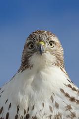 Red-tailed hawk mug shot