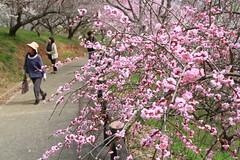 津山市久米 梅の里公園