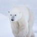 Ours polaire / Polar Bear by Eric Bégin Wildlife&Nature