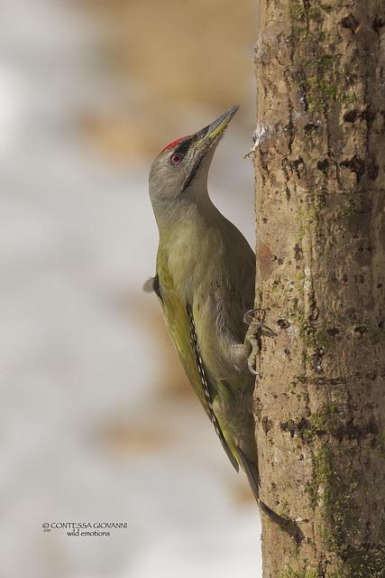 Grey-headed Woodpecker Picchio cenerino Picus canus